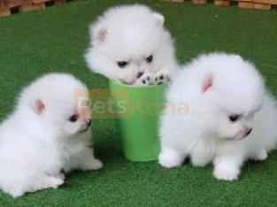 baby teacup Pomeranian Puppies