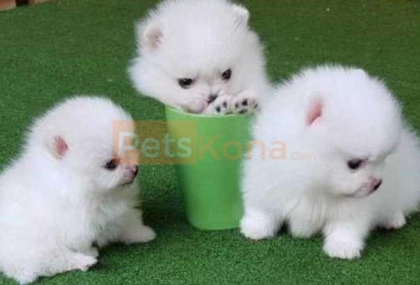 baby teacup Pomeranian Puppies