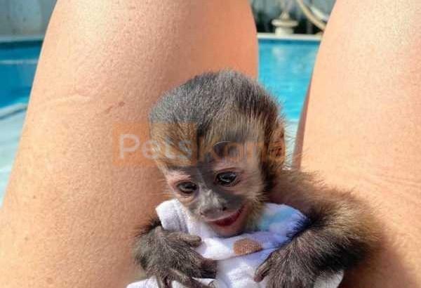 Emotional Filled Capuchin Monkeys Available
