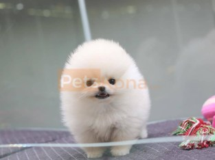 Outstanding Teacup Pomeranian puppies for sale