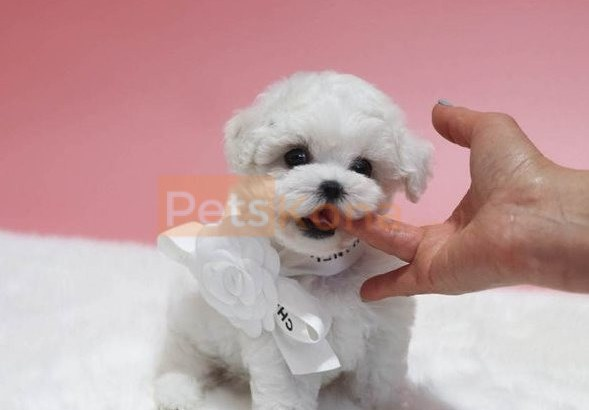 Pure White Bichon Frise puppies for sale