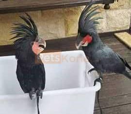 Black palm cockatoo Parrots for sale whats-app 00237699461444