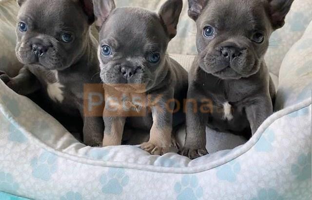 Amazing French bulldog puppies.