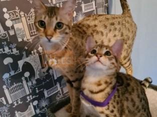 savannah kittens for sale