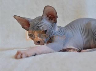 Sphynx Hairless Kittens