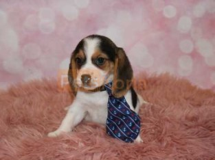 LOVELY ADORABLE BEAGLE PUPPY AVAILABLE