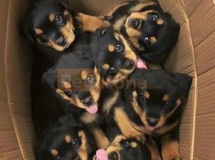 Adorable German Rottweiler puppies