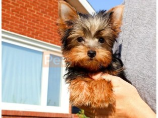 AKC registered Yorkie puppy for sale