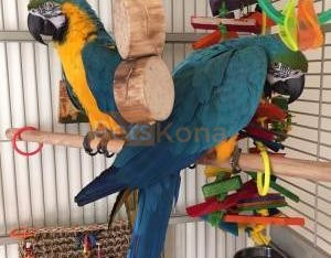 Blue and Gold Macaw available now
