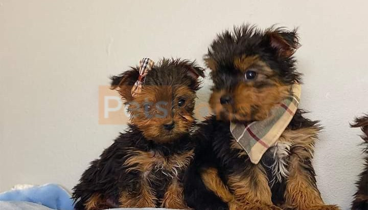 Yorkies available for rehoming