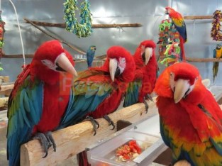 Fully Weaned Vaccinated and Trained Pet Parrots Birds