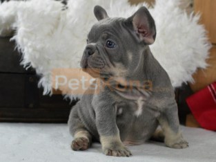 French bulldog Puppies For Sales.