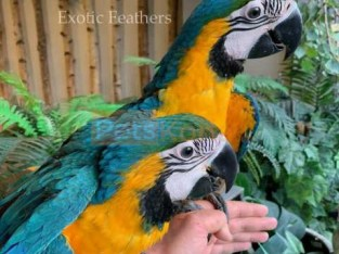 Hand Reared Baby Blue & Gold Macaws For Sale