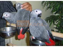 2 Pair of Talking African Grey Parrots