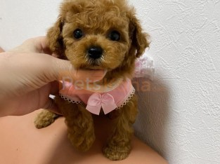 Cute Poodle Puppies Ready