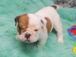 good temperament English bull dogs ready for a new home
