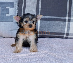 Cute Yorkshire Terrier puppies for new home