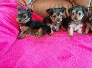 Purebred Teacup Yorkie Puppies