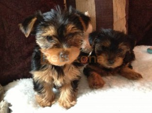 ♥Two Lovely Teacup Yorkie Pups♥