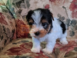 Sweet yorkie puppies available