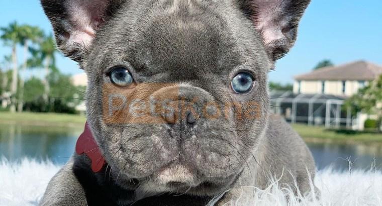 Akc Reg French Bulldog Puppies For Sale