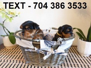 YOR.K.IE PUPPIES AVAILABLE Contact Us Via (704) 386-3533