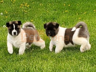 """Amante (Spanish for """"secret lover"""") Kc registered/ champion bloodlines Akita Puppies For A Lovely Home."""