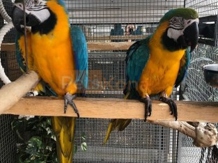 very beautifgul and amazing Parrots (Birds) available for sale .