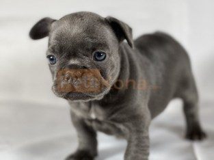 Ms. Fierce Butterfly Kc registered/ champion bloodlines French Bulldogs Puppies For A Lovely Home.