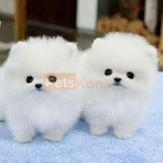 pomeranian puppies available .