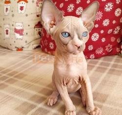 Geogeous hairless sphynx kittens for sale