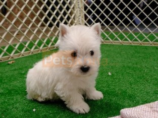 Super Quality West Highland White Terrier