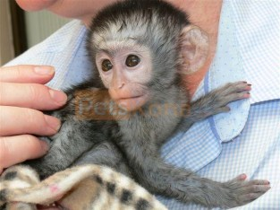 Gorgeous and Friendly Baby Capuchin Monkeys for sale