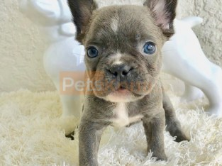 Male and Female French Bulldogs Puppies