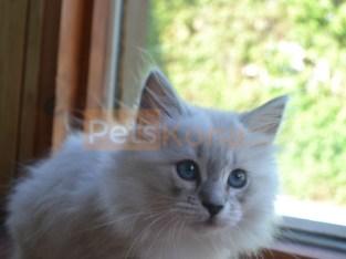 WCF Purebred Siberian Neva Masquarade Kittens born on April 25 2021