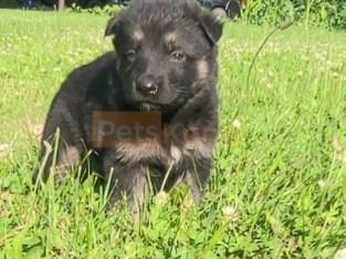 Akc registered German shepherd puppies