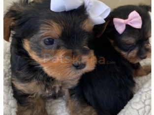 2 GIRLS AND 1 BOYS YORKIES AVAILABLE