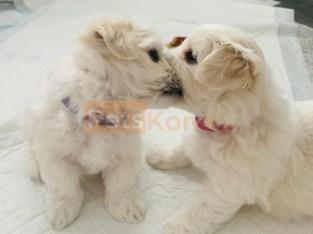 Gorgeous Maltese Puppies