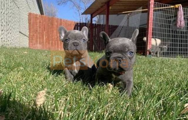 Adorable French bulldog puppy available now