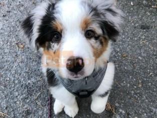 adaptable Aussie Australian Shepherd Puppies