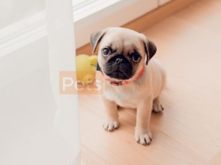 vivid Pug Puppies