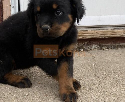 Registered Rottweiler pups
