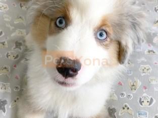 shining Aussie Australian Shepherd Puppies