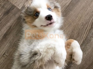 gleaming Aussie Australian Shepherd Puppies