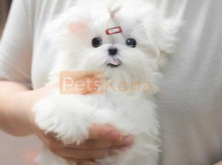 Well Socialized Maltese Puppies (541) 313 8629