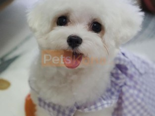 Male and Female Maltese Puppies (541) 313 8629