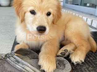 Pure Bred Full Pedigree golden retrieve Pups