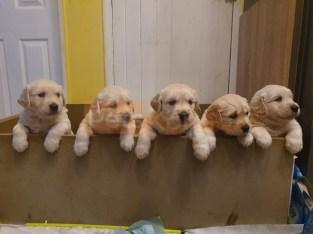 Kc Reg Golden Retriever Puppies.