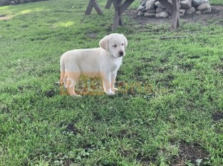 Purebred Labrador Puppies Available ..Text… +1(661)438-8352