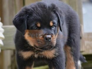 *Litter of Rottweiler Puppies*
